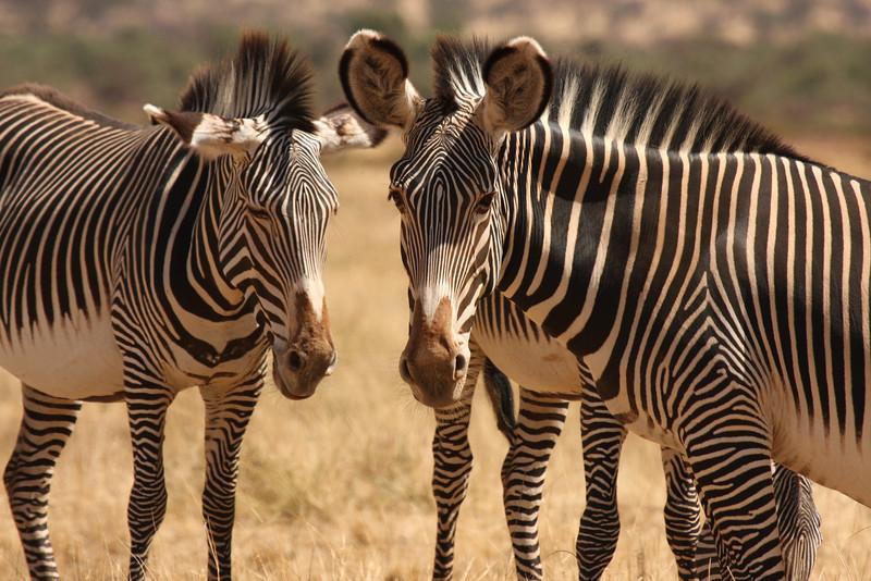 Grevy's Zebra Unique to Samburu - their stripes are thinner than the common zebras found elsewhere.