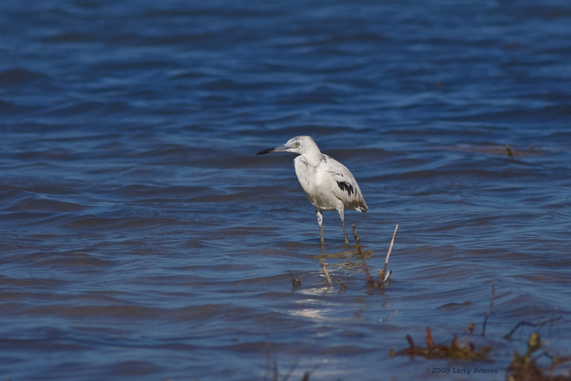 Little Blue Heron at Curry Hammock SP