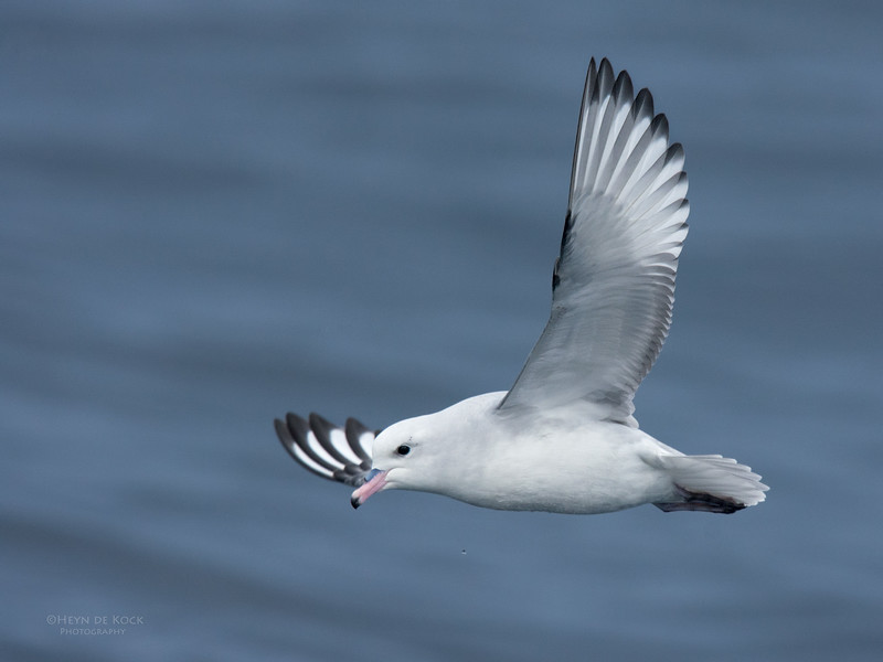 Southern Fulmar, Eaglehawk Neck, TAS, May 2016-2.jpg