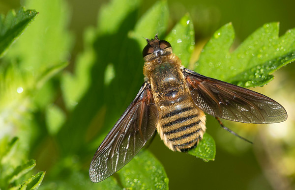 Poecilanthrax Bee Flies