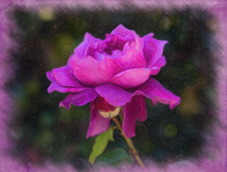 April 5 - Garden Rose.jpg