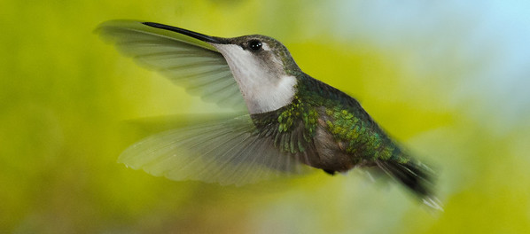 Hummingbirds 5-18-12