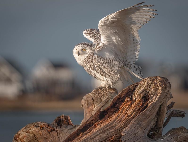DSC_5512-2 Snowy Owl Sylvie on the stump.jpg