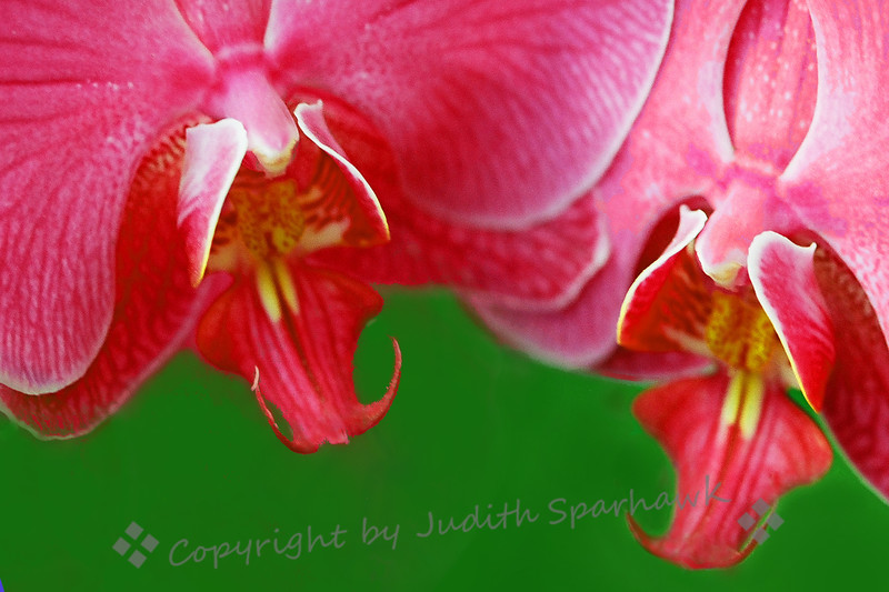 Orchid Pink.jpg