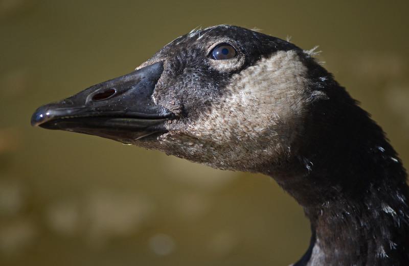 A Canada goose at the Huntington gardens in San Marino, CA.