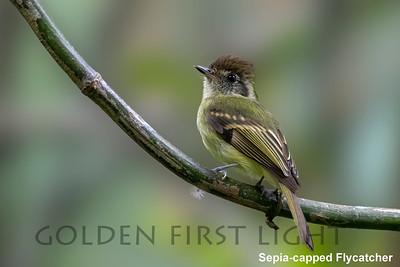 Sepia-capped Flycatcher, Peruibe, Brazil