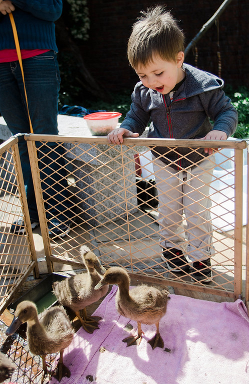 . Declan Siefert, 3, checks out the baby ducks during the Children\'s Literature Festival at the Fitchburg Public Library on Saturday, April 15, 2017. SENTINEL & ENTERPRISE / Ashley Green