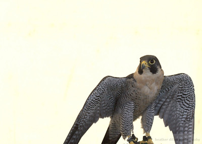 2007-07 Birds of Prey