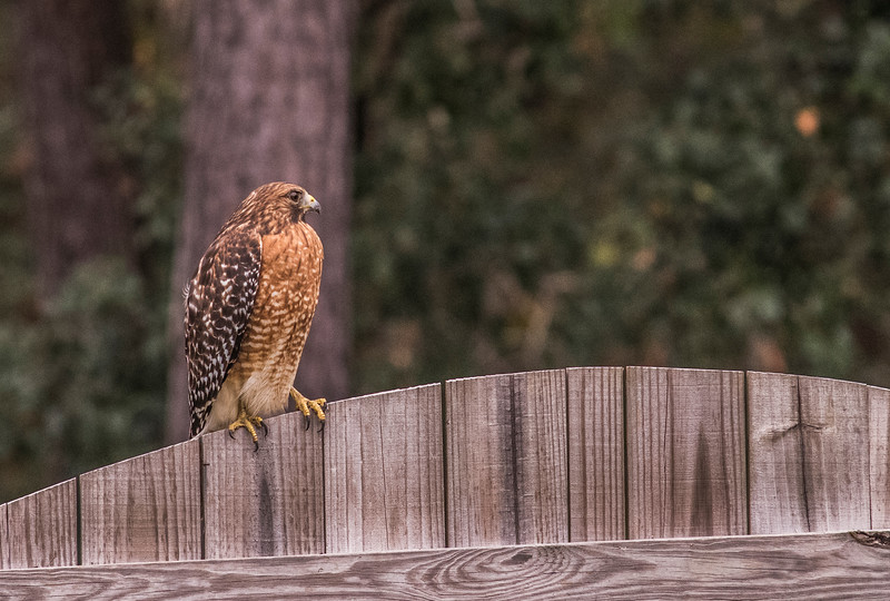 MMG_Red Shouldered Hawk Mount Pleasant SC_4.jpg