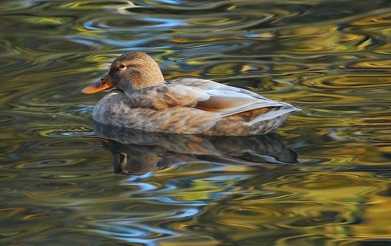 Duck1 2