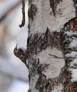 Puukiipijä (Certhia familiaris)