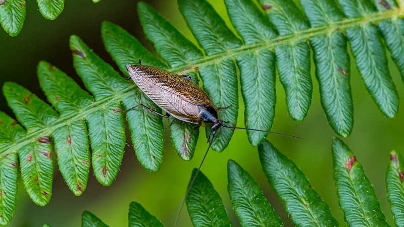 Dusky Cockroach