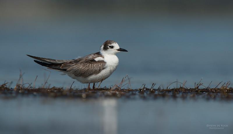 White-winged Tern, Lake Wolumboola, NSW, Aus, Nov 2013-1.jpg