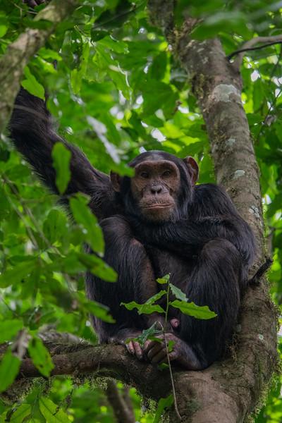 Uganda_T_Chimps-1645.jpg
