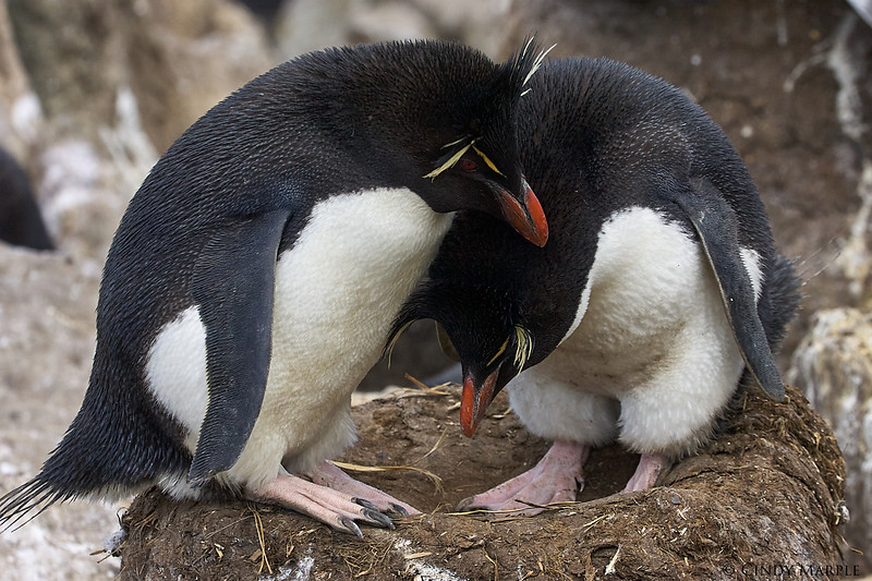 Rockhopper Penguin couple at nest