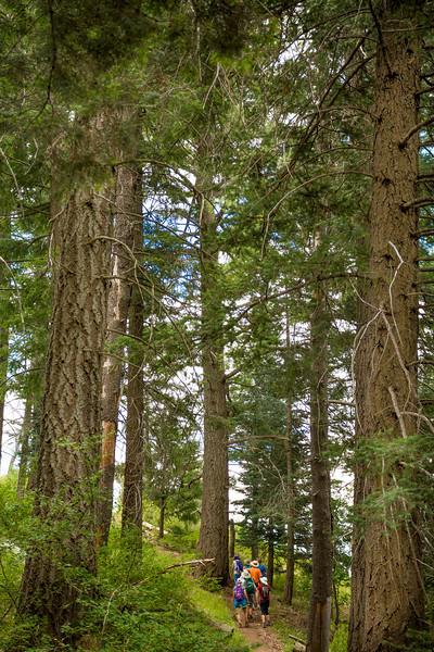 Mt Lemmon Old Growth #3