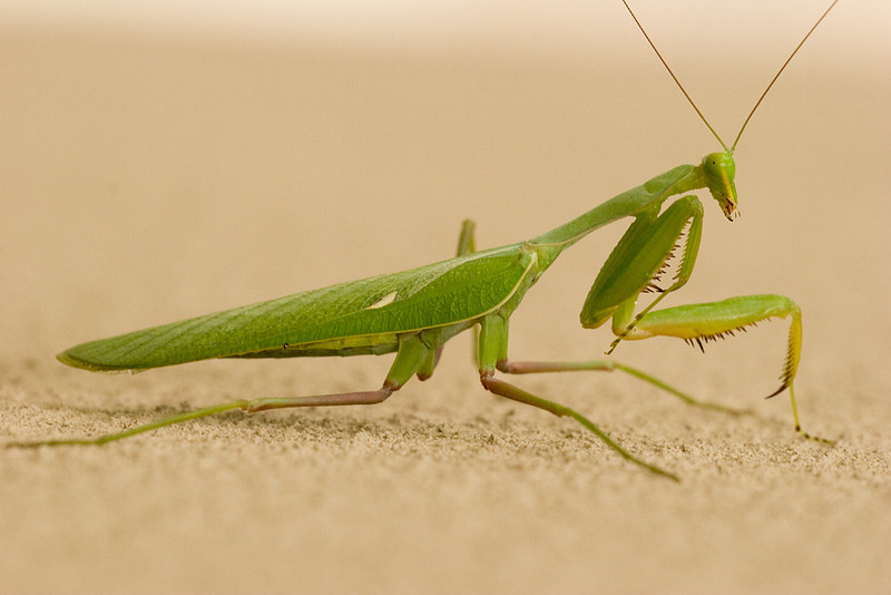Praying mantis, 1 minute before the bird found her... Kruger National Park, South Africa