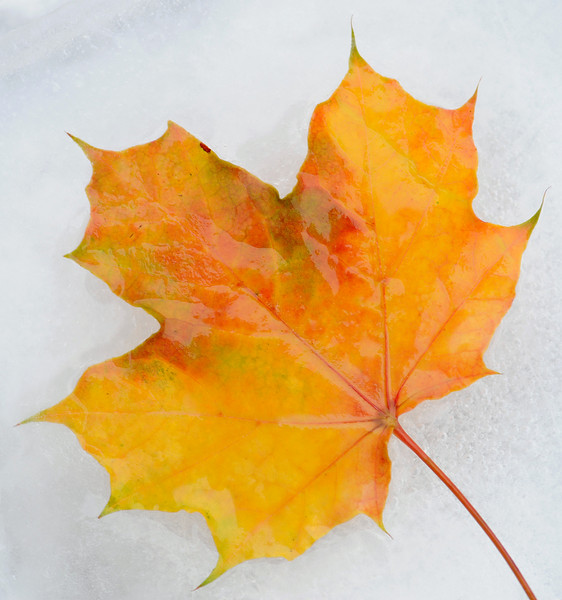 Last of the fall leaves frozen in time....
