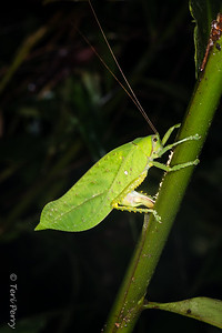 INSECT - leafhopper laying eggs-2506