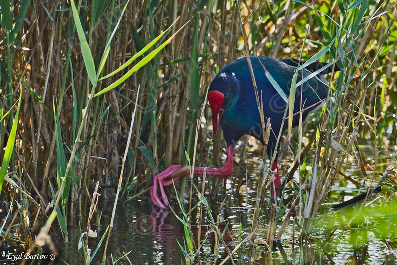 פורפיריה כחולה / Purple Swamphen / Porphyrio porphyrio