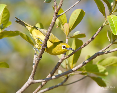 Canary White-eye (Zosterops luteus)