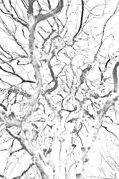 beech_tree_by_harcom-d4x8f52.jpg