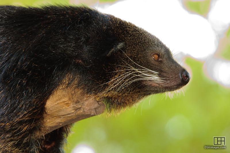 Binturong (Arctictis binturong)