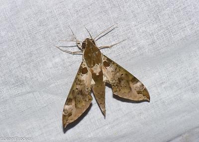 Malaysian Moths - Papillons de Malaysie