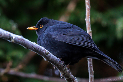 Svarttrost (Common Blackbird)