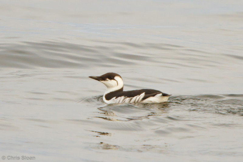 Common Murre at pelagic out of Bodega Bay, CA (10-15-2011) - 604.jpg