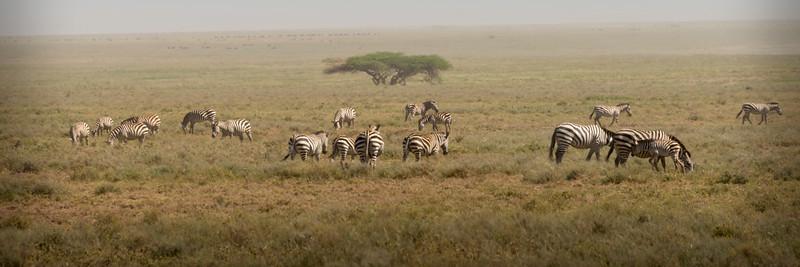 serengeti zebras 0014.jpg