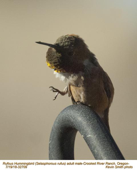 Rufous Hummingbird M32709.jpg