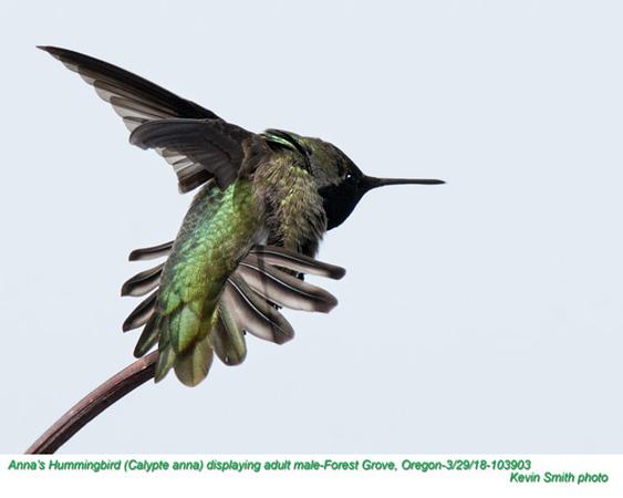 Anna's Hummingbird M103903.jpg