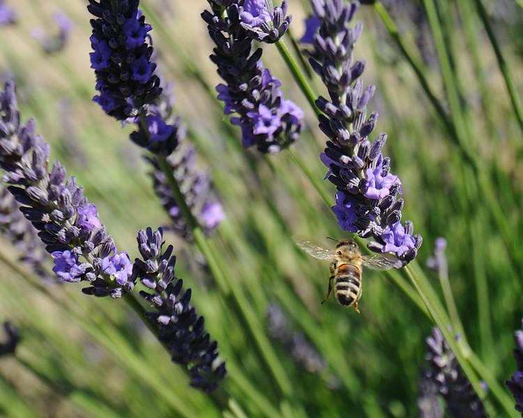 2012_Lavender_5730_0.jpg