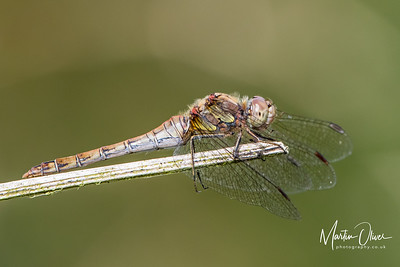 Darter, Common