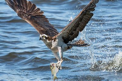 Osprey Watch 2017