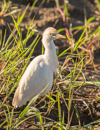 Intermediate (Yellow-billed) Egret