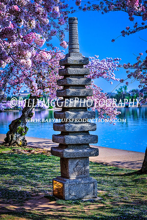 DC Cherry Blossoms - 11 Apr 2013