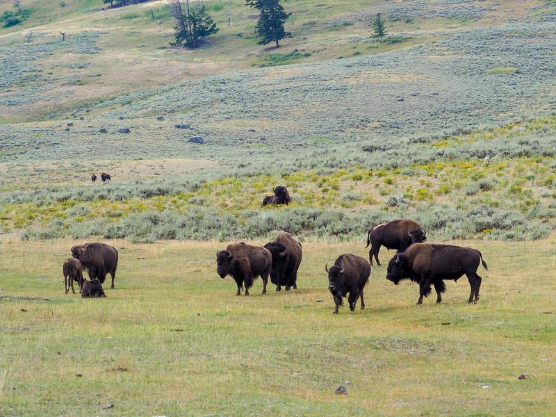 Bison herd in Lamar Valley