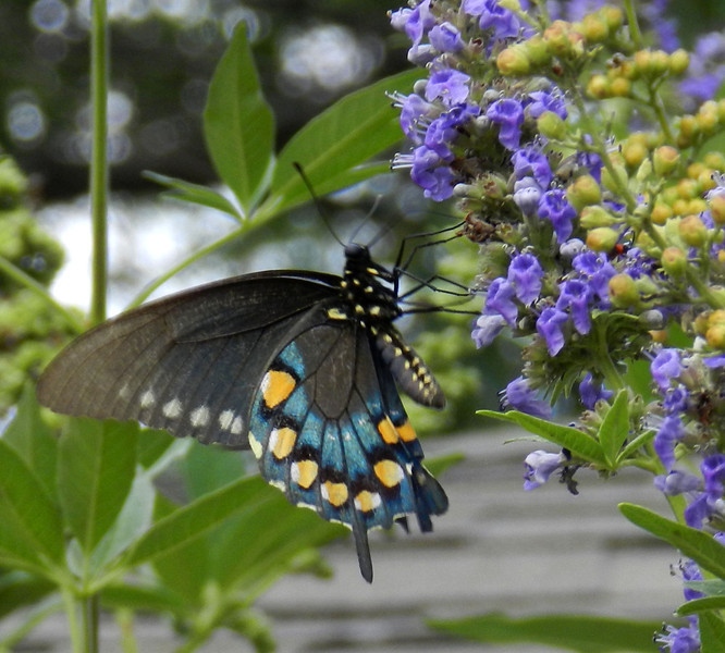 Swallow Tail on Vitex8.jpg