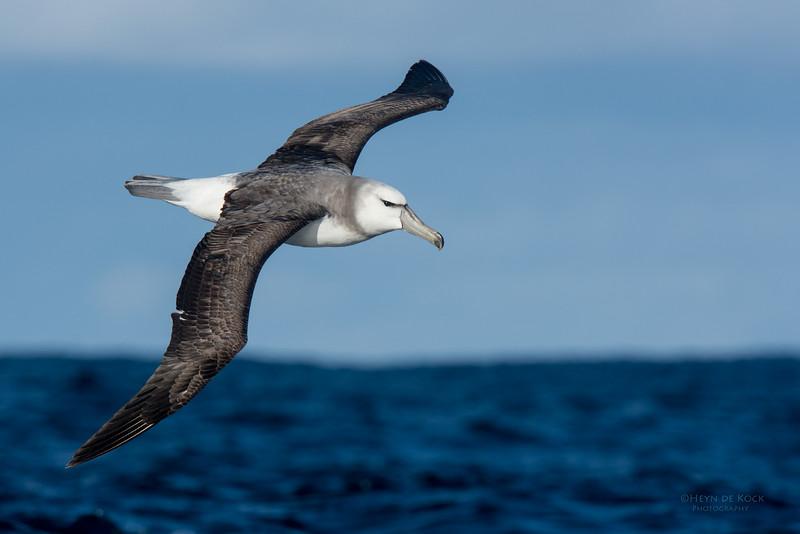Shy Albatross, imm, Eaglehawk Neck Pelagic, TAS, May 2016-2.jpg