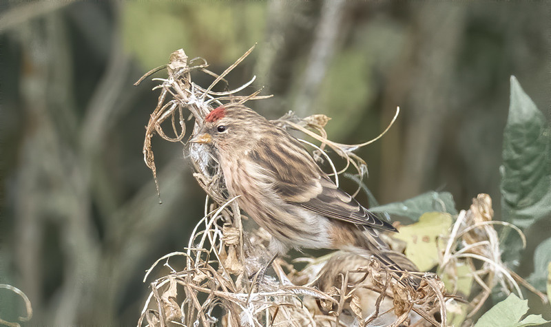 Lesser Red Poll