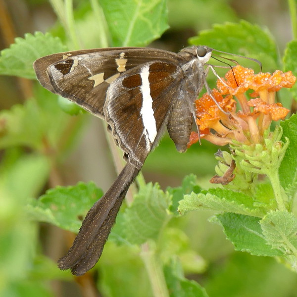 H03874  P159ChioidesAlbofasciatus107 July 28, 2016 8:56 a.m. P1590107 This is the White-striped Longtail, Chioides albofasciatus, on lantana at LBJ WC. There were at least a dozen seen today and more were seen at 2601 yesterday and today. Hesperiid.