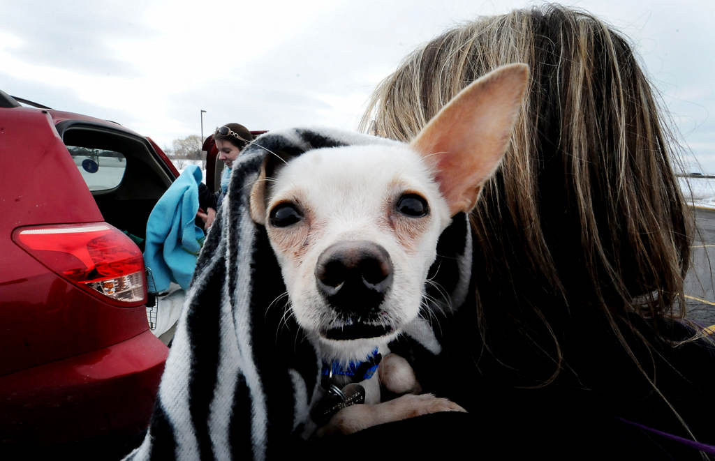 . Chloe, a four-year-old Chihuahua, is kept warm in a zebra-striped blanket as she is transferred into another vehicle by by volunteer Jana Pace in Itasca, Ill. (Pioneer Press: Sherri LaRose-Chiglo)