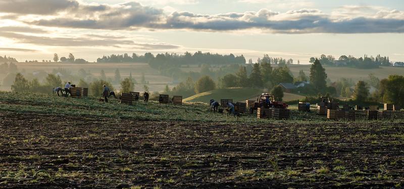 Høsting av løk