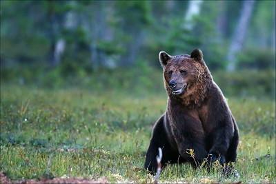 Bjørn - Bear