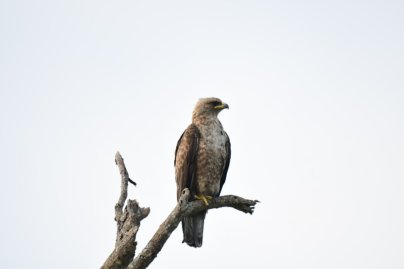 Tawny Eagle On Branch