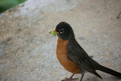Robins - Mature