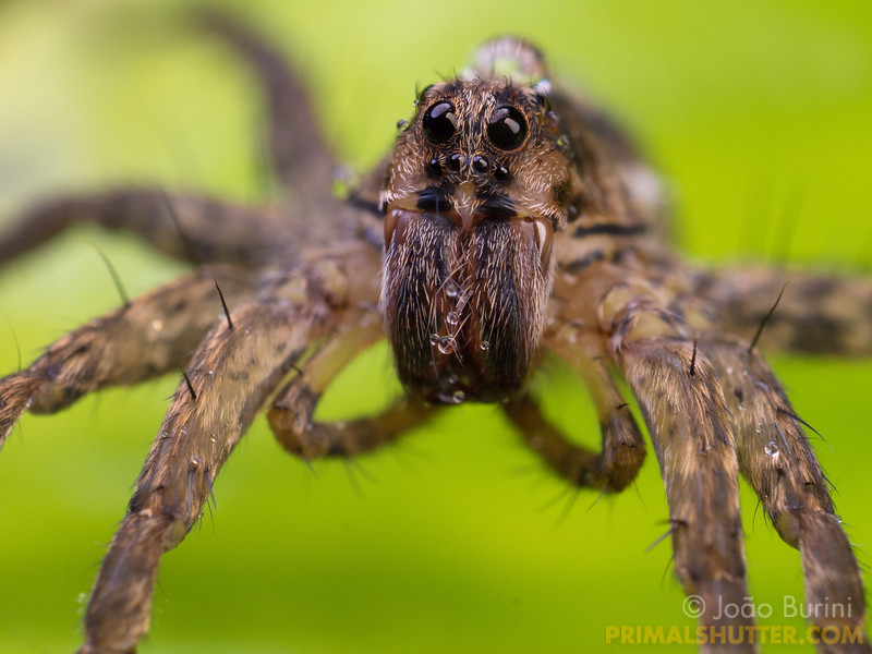 Details of a wolf spider with rain droplets on it's head