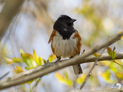 Eastern Towhee profile